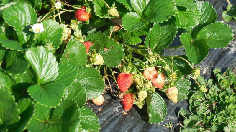 Fresh as you can get them - are strawberries good for you