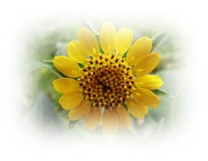 Yacon flower